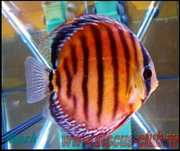 brown discus wild